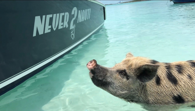 Swimming Pigs On Big Major Cay – Revisited